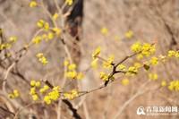 野生姜花图片