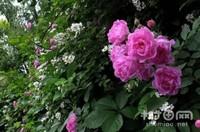 蔷薇花是玫瑰花吗,蔷薇花和玫瑰花的
