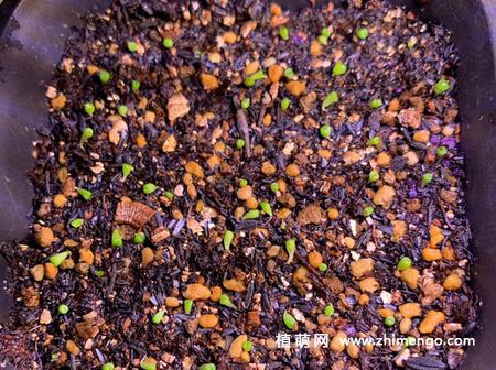 生石花种子播种方法步骤教程