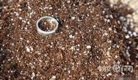 新玉缀养殖方法和注意事项,新玉缀怎么养(经验篇)