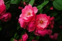 蔷薇花什么时候开花?蔷薇花该怎么