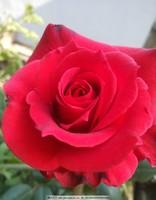 漂亮的红玫瑰花图片