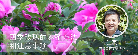 四季玫瑰的养殖方法和注意事项