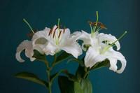百合茉莉代表什么意义,百合象征圣洁