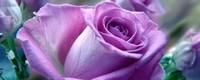 紫玫瑰的寓意