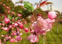 垂丝海棠种植:不耐阴