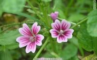 白色锦葵花图片