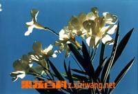 白花夹竹桃的功效与作用