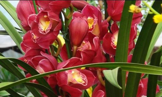 大花蕙兰图片鉴赏:国内栽种最流行的品种