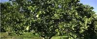 柚子树什么时候剪枝