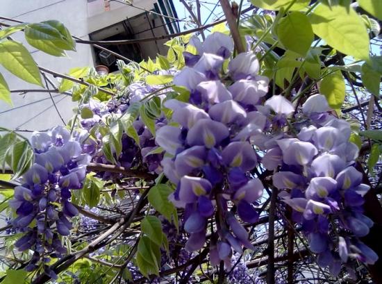 紫藤花怎么吃,关于紫藤花的四种不同