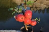 如何种植阳台苹果,4个步骤种子播种