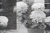 菊花是什么季节开花(附品种简介)