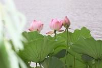 莲花的花语和象征