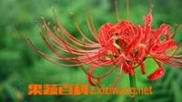 红花石蒜图片 红花石蒜的品种|栽培方法|观赏价值