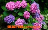 八仙花的药用价值与功效