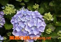 八仙花的养殖方法与注意事项