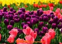 郁金香的功效与作用 郁金香的用途