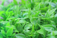 野辣椒草有什么功效 野辣椒草的药