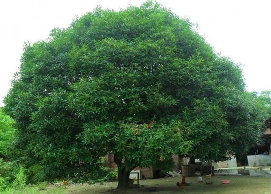 桂花树的栽培技术:喜阳光、好温暖、