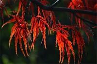 羽毛枫叶子怎么变红,胡萝卜素增多慢