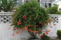 凌霄花的种植禁忌,霄花种在院子里风