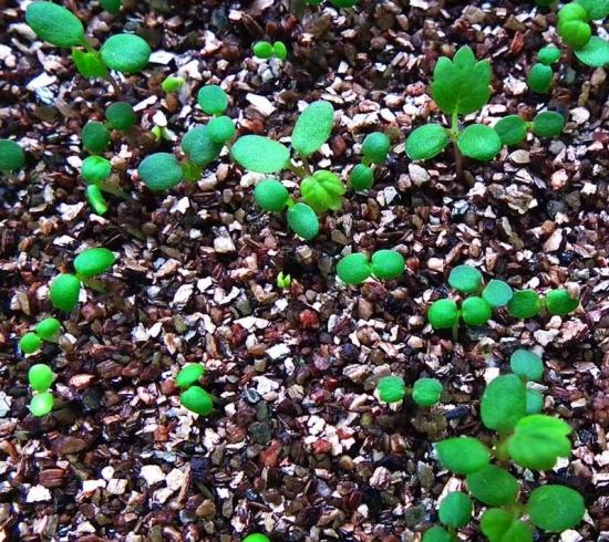 草莓种子怎样发芽:种子播种前浸泡8-12小时,待膨胀后撒播在土壤表面,约15天后发芽