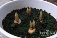 藏红花怎么种植,藏红花的种植方法与繁殖方法介绍