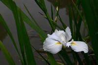白色鸢尾花图片