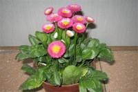 小雏菊多少天能开花,大概需180~200天能开花