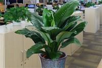 盆栽绿巨人花怎样施肥,盆底施肥和每