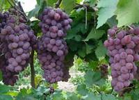 葡萄怎么做好吃,3步骤教你用葡萄自制葡萄果酱