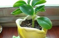 豆瓣绿怎么繁殖,3种最简单豆瓣绿的繁殖方法详解(叶插养护最容易)