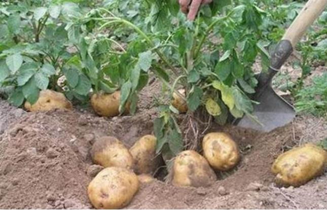 马铃薯原产地是哪里?发芽的马铃薯为什么不能吃?