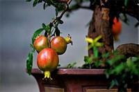 盆栽石榴怎么种植,6个步骤教你种出