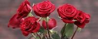 红玫瑰寓意