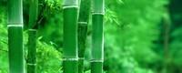 家里怎么养盆栽竹子