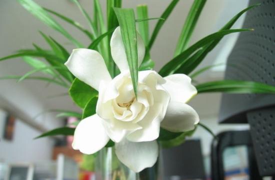 栀子花的药用价值:栀子的花、果实、