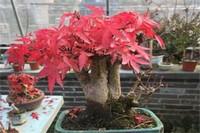 红枫盆景多少钱一棵,一般15~200元一