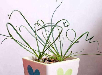 弹簧草为什么是直的,弹簧草有毒吗(缺乏光照/无毒)