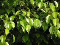 现代室内装饰中的主栽植物为什么喜欢用垂榕