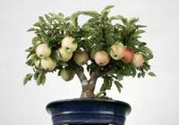 怎样让盆栽苹果早结果