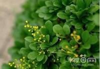米兰花怎么繁殖,扦插是米兰最易成活的繁殖方法