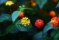 七色梅和五色梅一样吗(一样),五色梅有几个品种啊/五色梅盆景图片分享
