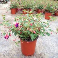 灯笼花盆栽图片