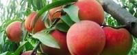 桃树晚熟品种