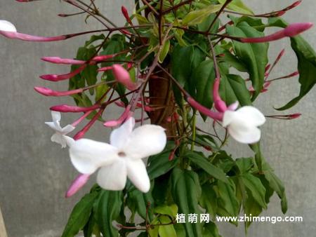素馨花怎么养,5种日常养殖方法