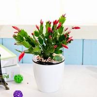长寿花一盆栽3颗的图片