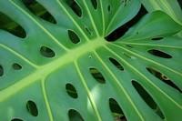 龟背竹叶子滴水有毒吗