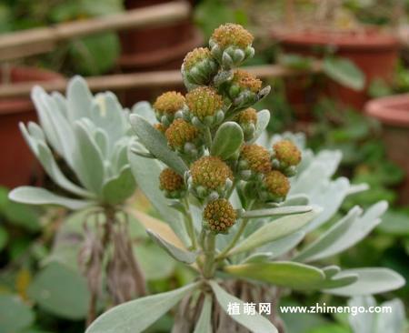 芙蓉菊怎么繁殖,播种、扦插、压条都可以